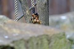 Schweinsaffe (Michael Döring) Tags: gelsenkirchen bismarck zoomerlebniswelt zoo schweinsaffe makake tc14eii afs600mm40e d850 michaeldöring