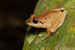 Robber frog (Craugastor sp.) (edward.evans) Tags: robberfrog rainfrog craugastor craugastorcrassidigitus frog costaricanamphibianresearchcentre crarc siquirres costarica wildlife nature macro amphibian rana herp herping