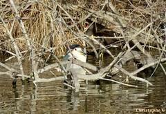 Le héron bihoreau partage son observatoire avec une poule d'eau (Parc ornithologique Pont de Gau - Camargue - 21 janvier 2018) (Carnets d'un observateur de la nature du Sud de la) Tags: pontdegau camargue bouchesdurhône provence nature biodiversité échassier héronbihoreau