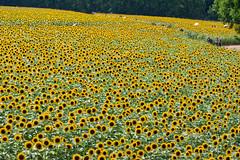 世羅高原農場のひまわり (hs_8585) Tags: pentax k3ii da50135mmf28 flower ひまわり hiroshima 広島