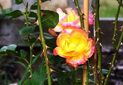 DSC_1039 (PeaTJay) Tags: nikond750 sigma reading lowerearley berkshire macro micro closeups gardens outdoors nature flora fauna plants flowers rose roses rosebuds