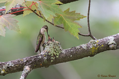 Hummingbird Feeding her Chicks (Karen 571) Tags: hummingbird nest