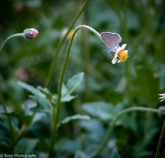 Butterfly (Balaji Photography - 5 .5 Million+ views -) Tags: insects nature india ecology biodiversity canon canon70d