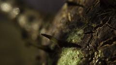 Decayed Chestnut (Renate Bomm) Tags: herbst kastanie renatebomm sonyilce6000 stachel decay macromondays samyangaf35mmf28 decayedchestnut inflickr chestnut castanea hmm 7dwf macro macroorcloseup