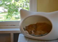 Happy International Cat Day! (rootcrop54) Tags: jimmy orange ginger tabby male cat whiskas head bed whiskascatheadbed sunroom window nap neko macska kedi 猫 kočka kissa γάτα köttur kucing gatto 고양이 kaķis katė katt katze katzen kot кошка mačka gatos maček kitteh chat ネコ