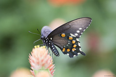 Butterfly 2018-69 (michaelramsdell1967) Tags: butterfly butterflies nature macro animal animals green bokeh beauty beautiful insect insects pretty detail delicate upclose closeup flower fragile meadow summer bug bugs lovely vivid vibrant wing wings black zen