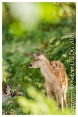 Taken at Bradgate Park Northwest of Leicester - UK (R ERTUG) Tags: leicestershire nikond610fx nikkor200500mmf56eafse bradgatepark rertug reddeer cervuselaphus ertug bradgate