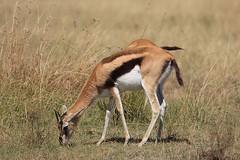 Thompson gazelle, Serengeti (Steve S. Yang) Tags: wildlifeinafrica thompson serengeti maasaimara africasafari deer gazelle
