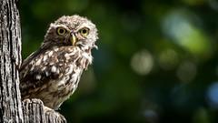 Wisdom Begins in Wonder - (*LaurenMcCartney*) Tags: ittle owl little nocturnal richmond park natgeo green brown rare endangered wild wildlife animal canon light reflect tree bird prey camouflage rock