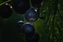 Berries (anderswetterstam) Tags: berries nature plants botanical garden summer closeup blue seasons
