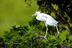 Little-Blue Heron Stretch (mayekarulhas) Tags: oceancity newjersey unitedstates us littleblueheron bird avian canon canon500mm canon1dxmark2 wildlife b