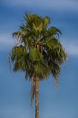 sunset palm (ucumari photography) Tags: ucumariphotography keywest florida fl sunset july 2018 palm tree latelight dsc3190