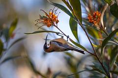 Afternoon Snack (- Jan van Dijk -) Tags: natuur nature vogel honeyeater nectar easternspinebill grevillea acanthorhynchustenuirostris afternoon feed australia queensland