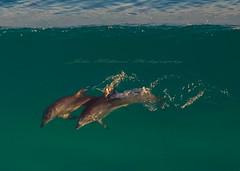 a pair (Julie Holland photography) Tags: ocean greatsouthernocean dolphins dolphin wildlife australia albany albanywesternaustralia animal canon7dmark2 tamron150600