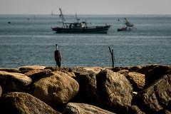 漁場にてーAt the fishing ground (kurumaebi) Tags: yamaguchi 秋穂 山口市 nikon d750 nature landscape 海 sea 青鷺 helon アオサギ 鷺 boat 漁船