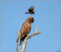 Brown-Snake-Eagle__AM07587 (SueM59) Tags: birds brownsnakeeagle knp may2018 raptors