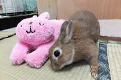 Ichigo san 1261 (Ichigo Miyama) Tags: いちごさん うさぎ ichigo san rabbitbunny cute netherlanddwarf brown ネザーランドドワーフ ペット いちご ぬいぐるみ ぬいどりrabbit bunny ぬいどり