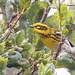 Townsend's Warbler (m)