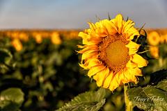One sunflower among thousands