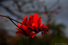Flower of the Common Coral Tree (Erythrina lysistemon) (leendert3) Tags: leonmolenaar southafrica nature flower coraltree