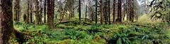 Ho Rain Forest (Sherri Barras) Tags: olympia rainforest green moss ferns iphone pano