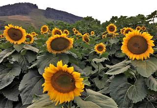McHenry MD ~ Sunflower sunshine