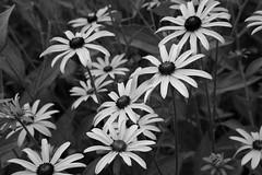 Shades Of Not Color (Modkuse) Tags: nopostprocessing monochrome blackandwhite bw blackeyedsusan flowers wildflowers fujifilm fujifilmxt2 xt2 xf35mmf2rwr xt2acros acros fujifilmxt2acrossimulation fujinonxf35mmf2rwr photoart fineart fineartphotography