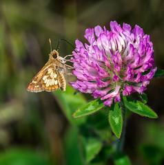 Sippin' Pink (Portraying Life, LLC) Tags: dbg6 da3004 hd14tc k1mkii michigan pentax ricoh unitedstates butterfly closecrop handheld nativelighting skipper hiddenlakegardens meadow redclover