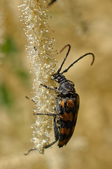 black & yellow longhorn beetle, lledgwial (paulatpowys) Tags: macro closeup nikond5500 nikor40mmmicro powys wales beetle insect