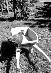Stainton . (wayman2011) Tags: blackwhite colinhart colinharthuaweip20lite mobilephone mono wayman2011 rural gardens hens pennines dales teesdale stainton countydurham uk