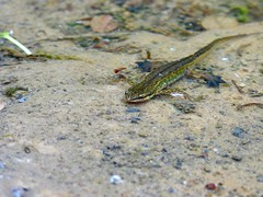 Newt (LouisaHocking) Tags: newt amphibian water ystradfellte waterfalls freshwater rockpool nature british wild wildlife