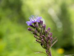 P6230091 (turbok) Tags: alpenpflanzen pflanze wildpflanzen c kurt krimberger