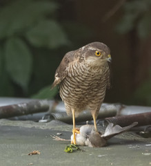 Sparrowhawk (xDigital-Dreamsx) Tags: bird birdofprey raptor wildlife nature woodland countryside rural hawk sparrowhawk sparrow