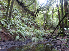 Laurisilva erdő (ossian71) Tags: spanyolország spain kanáriszigetek canaryislands gomera lagomera garajonay tájkép landscape természet nature erdő forest szubtrópus subtropic laurisilva babérerdő