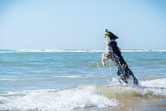 Catch (antoine.domenger) Tags: heavendesculmines latremblade france border collie scottish sheepdog herding dog dogs animal animals pet pets summer summertime beach sea ball catch waves ripples rippling surf
