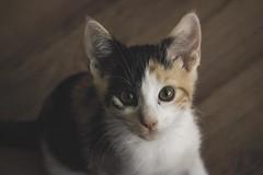 IMG_4003 (pungpungfish) Tags: adorable cute sock wine red canon 50mm photography portrait animalphotography portait kitten calico calicocat animal pet cat sport