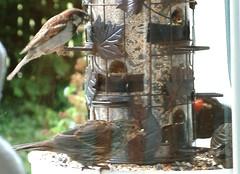 Red-winged blackbird family plus interloper (willapalens) Tags: redwinged blackbird pacific county washington willapa bay center
