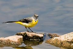 IMG_7791.jpg (TonyJ 3006) Tags: birds greywagtail places slimbridge