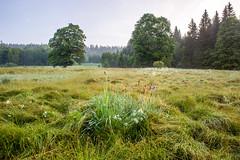 IMG_7074-HDR-Edit (jan.kodet) Tags: skelná kosatecsibiřský šumava böhmerwald bohemian forest kosatec sibiřský iris sibirica sibirische schwertlilie flowers tree nature morning foggy