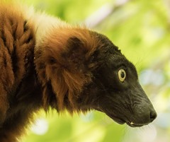 Streamlined Head (Lumen Candela) Tags: animal vari primaten lemuren ape lemurs tierpark berlin germany