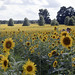 sunflowers - Windsor Castle Park Smithfield Virginia