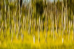 summer birches ([-ChristiaN-]) Tags: summer sun sommer sonne birken birches birch tree abstract abstrakt wischer green yellow grün gelb dream traum surreal icm intentionalcameramovement birke