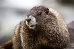 Marmot, Hoary (KilcherPNW) Tags: hoarymarmot marmotacaligata mountrainiernationalpark nationalparks mtrainiernp washingtonstate marmot