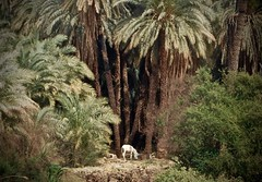 Magical Places and Things - Egypt- The Nile (2) (The Spirit of the World ( On and Off)) Tags: donkey animal nature wildlife nile river thenile trees palmtrees riverbank famousriver cruise egypt middleeast africa timeless backintime