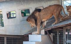 Columbus Zoo-15 (MrTopher) Tags: aquarium columbus hanna jack lion ohio zoo airplane lioness lions plane window wing