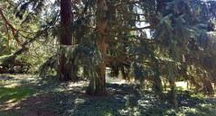 "Picea Smithiana...""The Morinda Spruce"" (standhisround) Tags: trees tree treemendoustuesday htmt spruce nature pine morindaspruce himalayanspruce piceasmithiana kewgardens kew royalbotanicalgardens rbg london england uk westhimalayan shadows pineneedles park gardens"