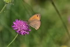 sentiero.farfalle (30) (Guido.C.) Tags: farfalle sentiero gambolò