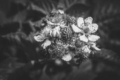 A bunch of blackberries (Herr Nergal) Tags: fz1000 lumix macro close up bw sw schwarzweiss monochrome fruits blackberry berries saarland 7dwf früchte brombeere panasonic makro nature