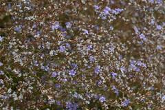 Denver Botanic Garden   2018.08.06   DSC_0379 (Kaemattson) Tags: denverbotanicgarden denverbg botanicgarden denver co colorado garden milehighcity green greenery landscape flowers