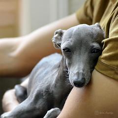 Peace is our gift to each other 💕 (@dora_figalga) Tags: peaceandlove cudle loveeachother inyourarms sleep chest nap hug rest love cute sweet bestmoment lovely iggy sighthound dog pet greydog cutedog doglover dorafigalga